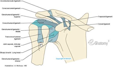 diagram of shoulder joint picture 13