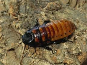 madagascar hissing cockroach diet in captivity picture 7