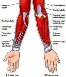forearm muscle picture 14