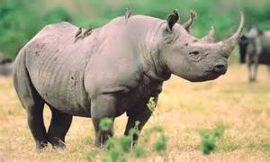 african rhino diet picture 3