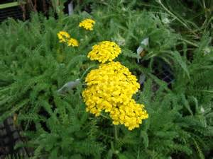 yellow yarrow picture 5