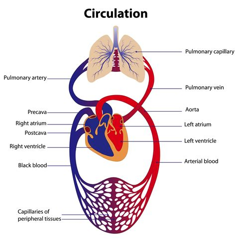 artery blood flow picture 11