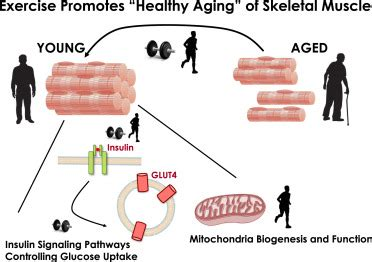 aging of a skeletal muscle paffenbarger picture 14