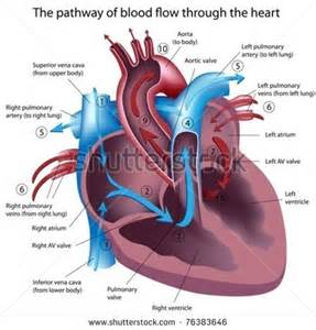 blood flow in humans picture 7