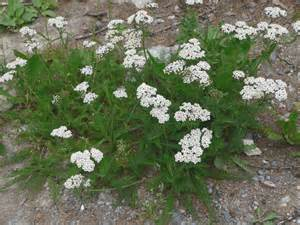 yarrow and erflies picture 14