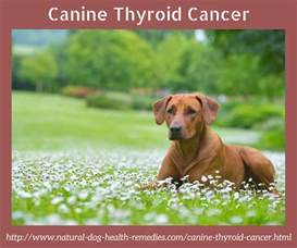 canine thyroid cancer symptoms picture 5