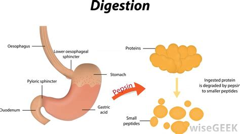 digestive juices in the stomach picture 11