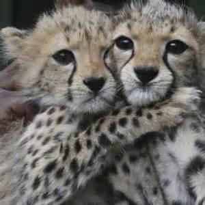 do cheetahs sleep picture 6