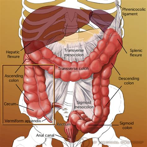 anatomy of liver and colon picture 6