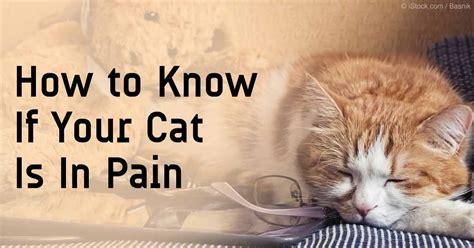 feline pain relief treatments picture 11