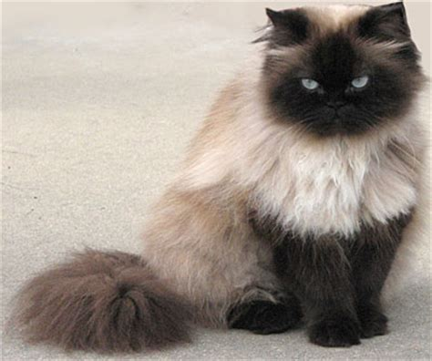 smoke persian breeders picture 10