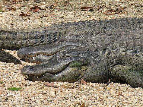 alligators sleep picture 9
