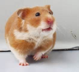 short hair hamsters picture 3