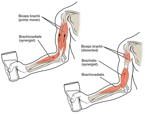 bicep muscle pain picture 2
