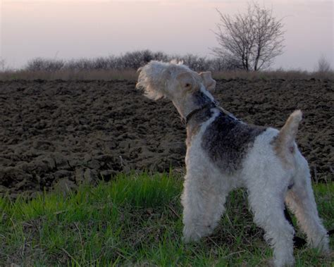 wire hair fox terriers web 9818 picture 6