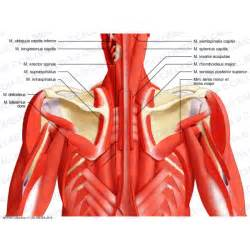 anatomy deep back muscle picture 10