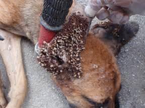 dead skin inside the ear c picture 3