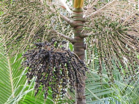 acai berry tree picture 11