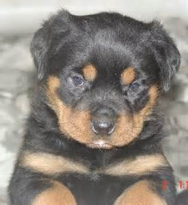 aging rotweiler picture 15