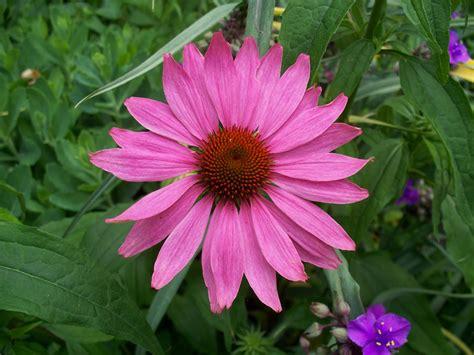 echinacea flower picture 2