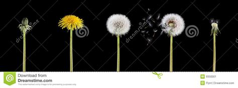 pictures of dandelion growth cycle picture 6