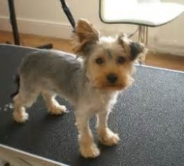 course hair in terrier picture 19