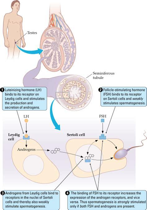 testosterone estrogen receptor picture 5