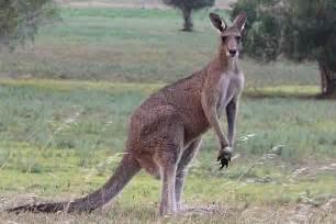 kangaroo for women picture 6