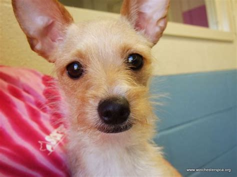 wired hair chihuahua picture 15