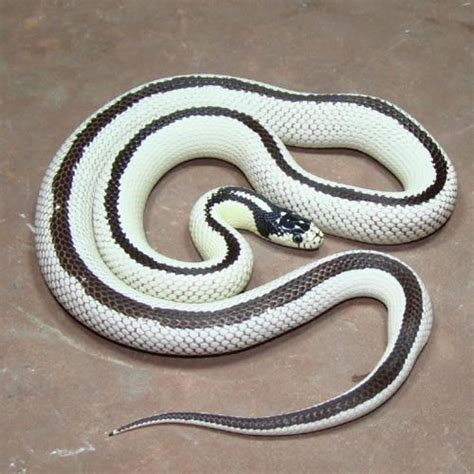 aging your king snake picture 9