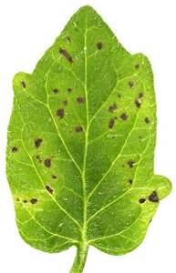 bacterial diseases in plants picture 17
