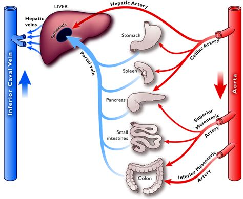 artery blood flow picture 15