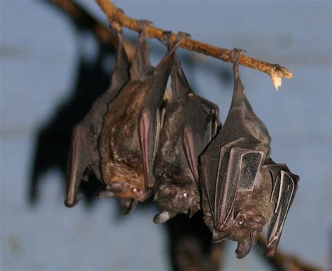 pictures of bats sleeping picture 1