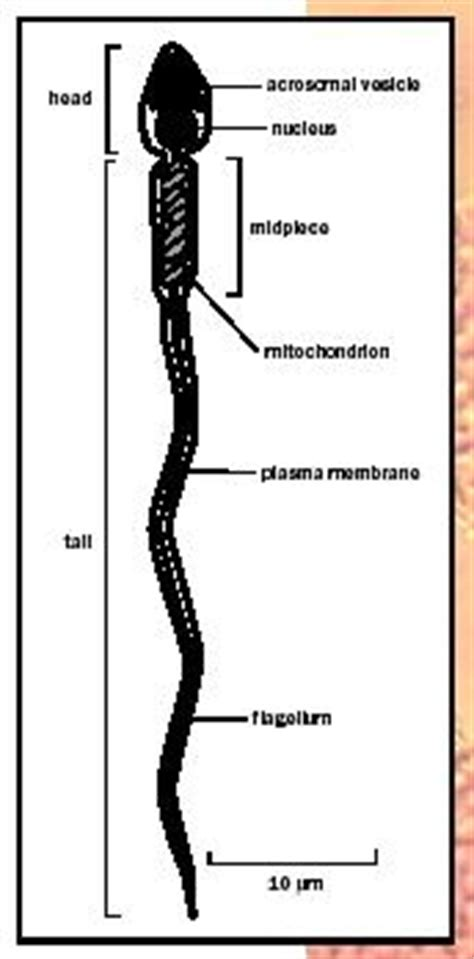 show and identify the various components of the male penis picture 11