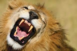 lion teeth picture 6
