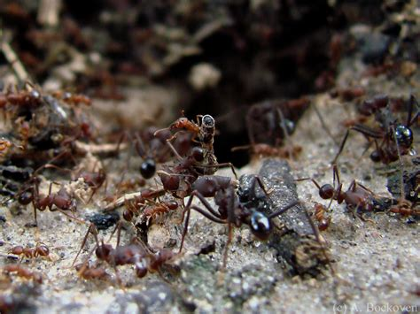 name of skin of argentine ant picture 3