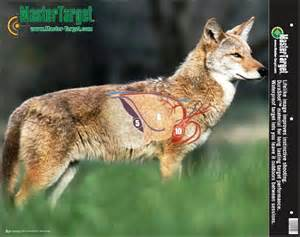 how to skin a coyote picture 6