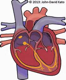 Animation of blood flow though heart picture 6