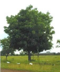 neem bark picture 1