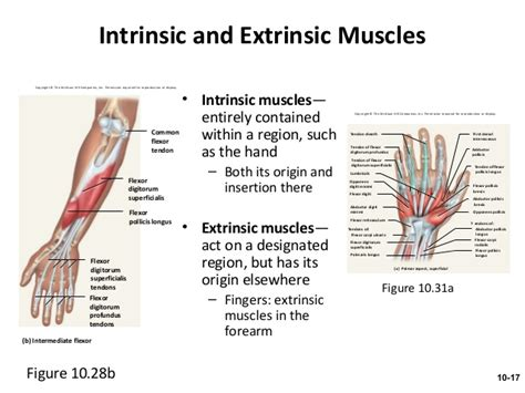 intrinsic and extrinsic muscle control picture 15