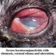 feline herpes conjunctivitis picture 6