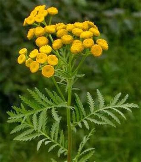 tansy herb in philippines picture 6