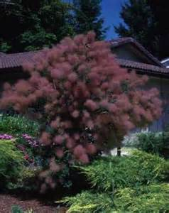 caring for purple smoke trees picture 9
