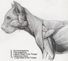 cat muscle anatomy picture 3