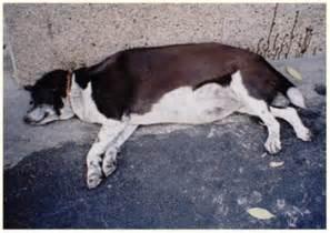 end stage liver disease in dogs picture 7