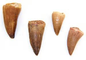 dinosaur teeth picture 11