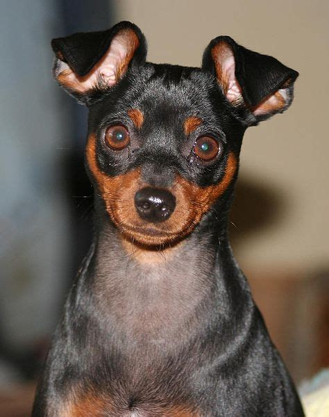 miniature pinscher skin problems picture 15