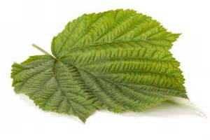 red raspberry leaf picture 3