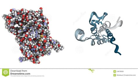 human growth hormone molecular weight picture 7