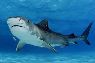 pics of tiger sharks h picture 1